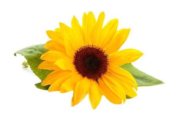 خواص دارویی گیاه آفتابگردان