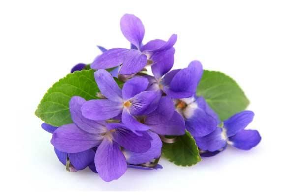گل بنفشه و خواص روغن آن Viola Sp