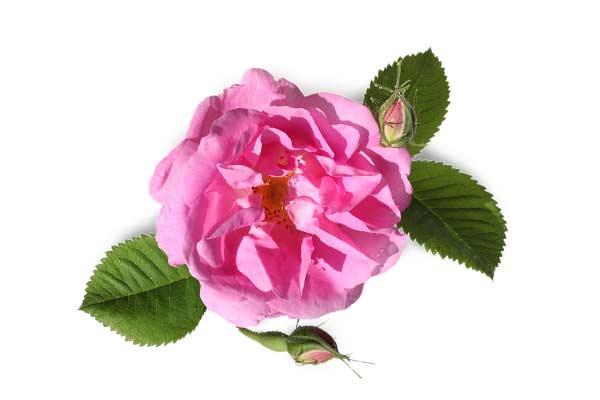 گل سرخ یا گل محمدی